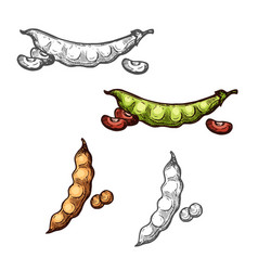 soy and bean pod vegetable sketch of legume crops vector image