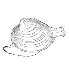 Clam vintage vector