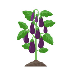 Eggplant plant with ripe fruits growing in the vector