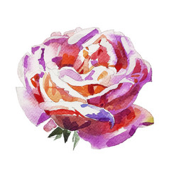 Handmade watercolor rose isolated on white vector