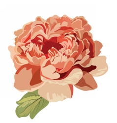 Peony pink flower isolated vector
