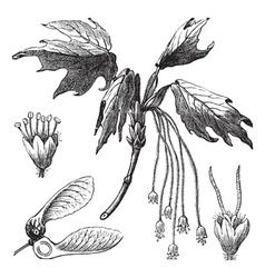 Creek Maple vintage engraving vector image