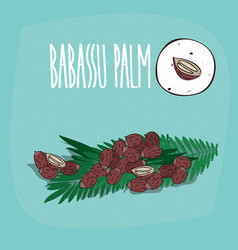 set of isolated plant babassu seeds herb vector image