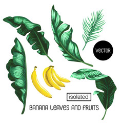 Banana leaves and fruit isolated vector