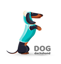 Dachshund dog in blue sweater with hooded side vector