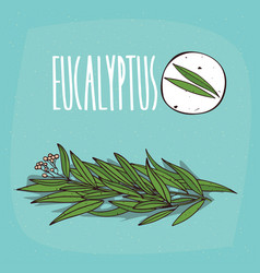 Set of isolated plant eucalyptus leaves herb vector