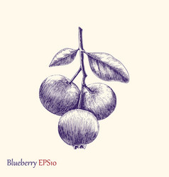 blueberry hand drawing vector image vector image