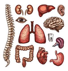 organ bone and body part sketch human anatomy vector image