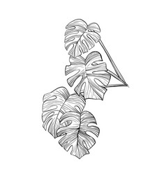 Philodendron leaves hand drawn vector