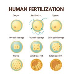 human fertilization vector image