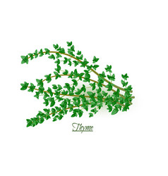 Sprigs fresh delicious thyme in realistic style vector