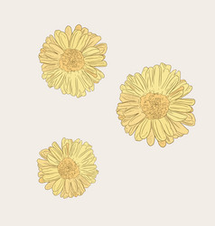 chrysanthemum flower sketch vector image