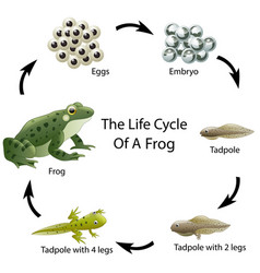 The life cycle of a frog vector