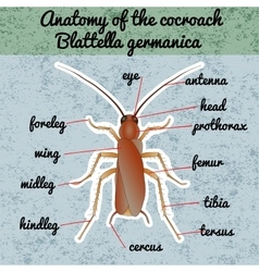 Insect anatomy Sticker Blattella germanica vector image