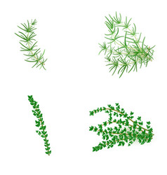 set of rosemary and thyme in realistic style vector image