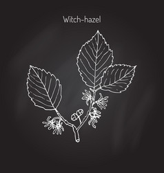 Branch a witch hazel vector