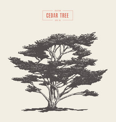 high detail vintage cedar tree drawn vector image