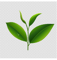 tea leaves in transparent background vector image vector image