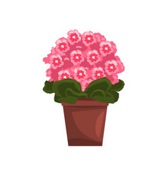 Flowering pink violet indoor house plant in brown vector