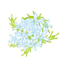 Blue Cape Leadwort Flower or Blue Plumbago Flower vector