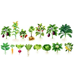 Many kind of vegetables with leaves and roots vector image