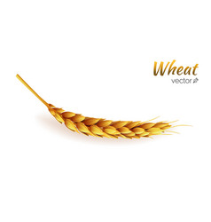 Realistic wheat spike isolated agriculture vector