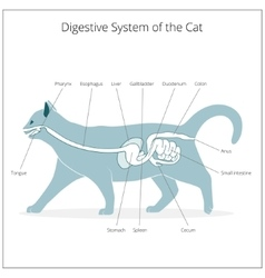 Digestive system of the cat vector image