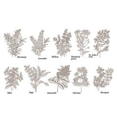 rosemary mint melissa sage lavender amaranth vector image