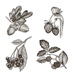 Collection of highly detailed hand drawn acorn vector