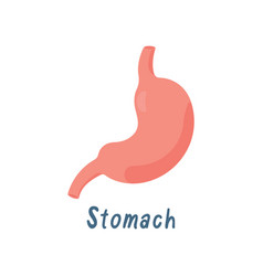 stomach healthy internal organ human anatomy vector image