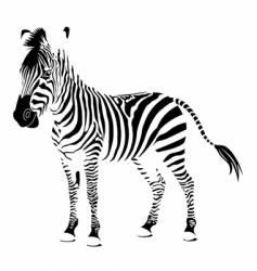 zebra white vector image