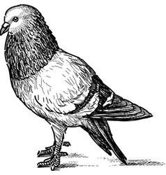 City pigeon vector