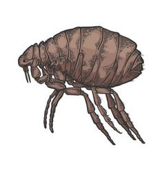 Flea insect parasite color sketch engraving vector
