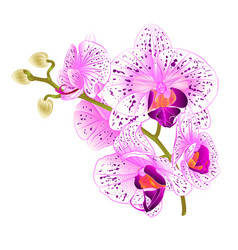 Branch orchids purple and white flowers vector