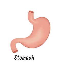 stomach internal organ human anatomy vector image