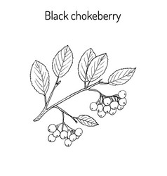 Black chokeberry branch vector