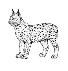 Hand drawn lynx vector image