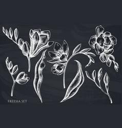 set hand drawn chalk freesia vector image