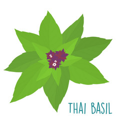 essential ingredient fresh thai basil leaf vector image