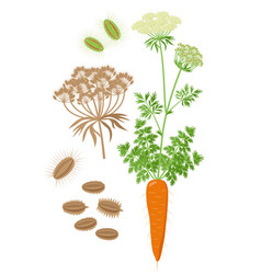 Carrot plant with compound umbel and inflorescence vector