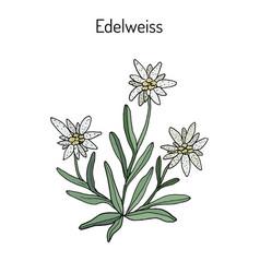 Edelweiss leontopodium alpinum vector