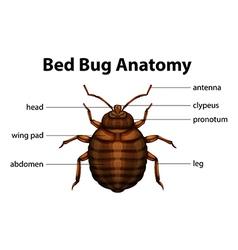 Bed Bug Anatomy vector image