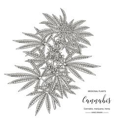 cannabis sativa or cannabis indica plant vector image