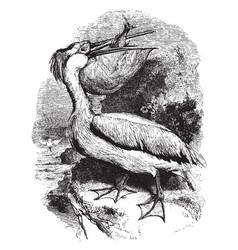 Common white pelican vintage vector