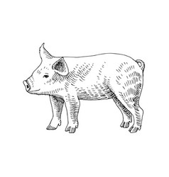 hand drawn piglet vector image