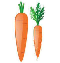 carrots with leaves and roots vector image