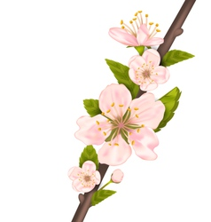 Close Up Cherry Blossom Branch of Tree vector image vector image
