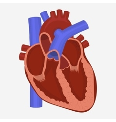Heart anatomy vector image vector image