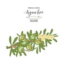 Argan tree argania branch with fruits vector