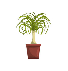 dracaena indoor house plant in brown pot element vector image